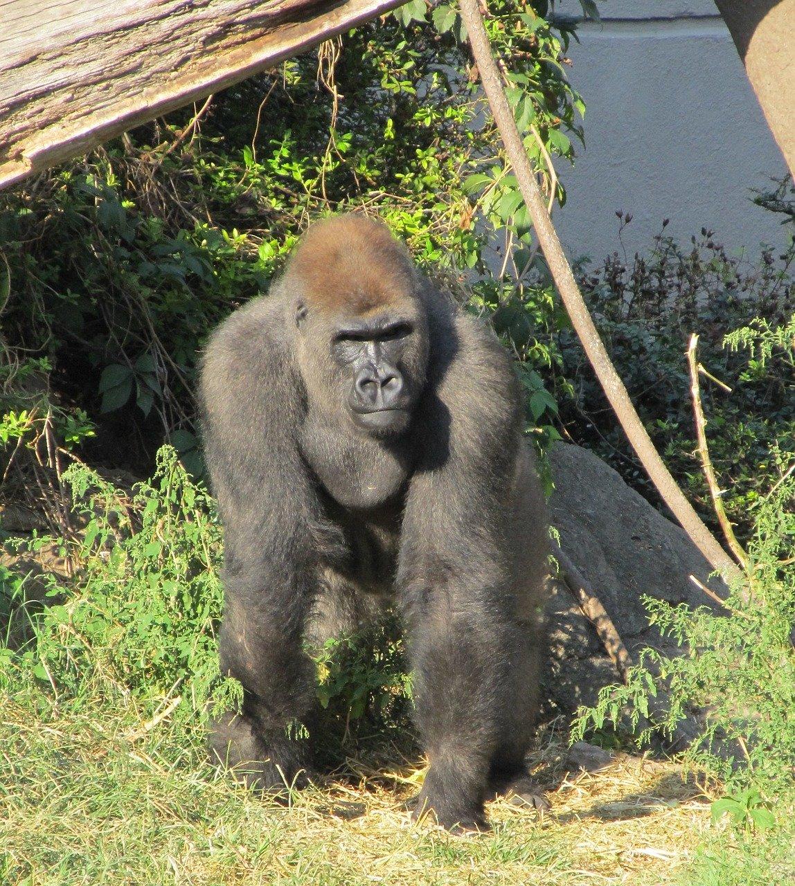gorilla-2114414_1280